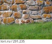 Купить «Рыже-белая корова на фоне стены Соловецкого Кремля», эксклюзивное фото № 291235, снято 15 июля 2007 г. (c) Тамара Заводскова / Фотобанк Лори