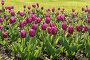 Розовые тюльпаны, фото № 293339, снято 21 мая 2008 г. (c) Бутинова Елена / Фотобанк Лори