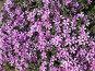 Цветение флокса шиловидного, фото № 293727, снято 17 мая 2008 г. (c) Заноза-Ру / Фотобанк Лори