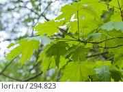 Купить «Листья клена весной», фото № 294823, снято 20 ноября 2018 г. (c) Алексей Волков / Фотобанк Лори