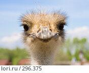 Купить «Любопытный африканский страус Struthio camelus», фото № 296375, снято 13 мая 2008 г. (c) Михаил Котов / Фотобанк Лори