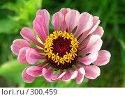 Купить «Цинния - изящный цветок», фото № 300459, снято 22 августа 2007 г. (c) Марина Бандуркина / Фотобанк Лори