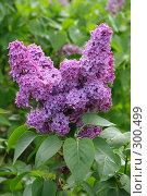 Купить «Цветы сирени», фото № 300499, снято 13 мая 2008 г. (c) Сницарь Александр / Фотобанк Лори