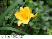 Купить «Лилейник», фото № 302427, снято 29 мая 2008 г. (c) Цветков Виталий / Фотобанк Лори
