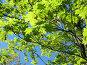 Ветки клена на фоне неба, фото № 302883, снято 24 мая 2008 г. (c) Заноза-Ру / Фотобанк Лори