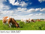 Коровы на лугу. Выпас скота, фото № 304587, снято 28 мая 2008 г. (c) Евгений Захаров / Фотобанк Лори