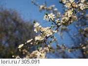Купить «Цветущие сады», фото № 305091, снято 26 апреля 2008 г. (c) Куракевич Иван / Фотобанк Лори