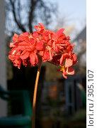 Купить «Герань», фото № 305107, снято 27 апреля 2008 г. (c) Куракевич Иван / Фотобанк Лори