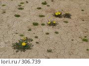 Одуванчики на высушенной почве. Стоковое фото, фотограф Александр Иванов / Фотобанк Лори