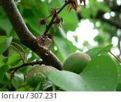 Зелёный абрикос. Стоковое фото, фотограф Алла Максимчук / Фотобанк Лори