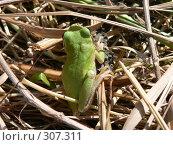 Древесная лягушка. Стоковое фото, фотограф Алла Максимчук / Фотобанк Лори