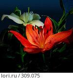 Купить «Лилия», фото № 309075, снято 24 мая 2008 г. (c) Кучкаев Марат / Фотобанк Лори