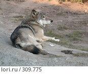 Купить «Волк. Wolf», фото № 309775, снято 2 октября 2005 г. (c) sav / Фотобанк Лори