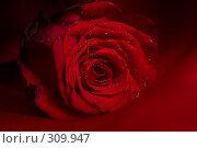 Купить «Красная роза», фото № 309947, снято 30 марта 2007 г. (c) Алена Роот / Фотобанк Лори