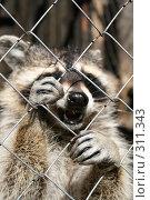 Купить «Звери в клетке. Енот», фото № 311343, снято 24 мая 2008 г. (c) Сергей Костин / Фотобанк Лори