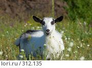 Купить «White kid at meadow Козленок», фото № 312135, снято 4 июня 2008 г. (c) Сергей Старуш / Фотобанк Лори