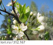Купить «Ветка цветов яблони макро», фото № 312167, снято 2 мая 2008 г. (c) Иван / Фотобанк Лори