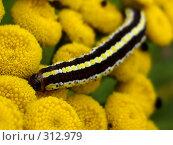 Купить «Полосатая гусеница на цветке пижмы», фото № 312979, снято 5 августа 2007 г. (c) Sergey Toronto / Фотобанк Лори