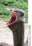 Купить «Страус зевает», фото № 313999, снято 22 мая 2008 г. (c) Татьяна Баранова / Фотобанк Лори