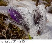Купить «Подснежник под снегом», фото № 314215, снято 3 мая 2008 г. (c) Евгений Прокофьев / Фотобанк Лори