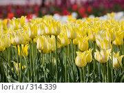 Купить «Желтые тюльпаны», фото № 314339, снято 9 мая 2008 г. (c) Алексей Бок / Фотобанк Лори
