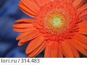Купить «Огненный цветок», фото № 314483, снято 7 июня 2008 г. (c) Анна Лукина / Фотобанк Лори