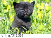 Купить «Черный котёнок с голубыми глазами», фото № 316339, снято 9 июня 2008 г. (c) RedTC / Фотобанк Лори