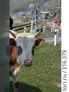 Купить «Бычок», фото № 316379, снято 31 мая 2008 г. (c) Дарья Киселева / Фотобанк Лори