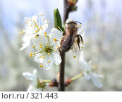 Купить «Пчела на цветке вишни», фото № 321443, снято 1 мая 2005 г. (c) sav / Фотобанк Лори