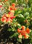 Оранжевые цветы, фото № 321947, снято 13 июня 2008 г. (c) Катерина Макарова / Фотобанк Лори