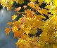 Осенние листья клена, фото № 322779, снято 20 октября 2005 г. (c) Vladimirs Koskins / Фотобанк Лори