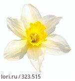 Купить «Желтый нарцисс», фото № 323515, снято 25 мая 2008 г. (c) Константин Куприянов / Фотобанк Лори