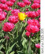 Купить «Розовые тюльпаны и один жёлтый на зелёном фоне, вертикально», фото № 325331, снято 30 апреля 2008 г. (c) ИВА Афонская / Фотобанк Лори
