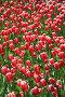 Много тюльпанов в утреннем свете, фото № 325399, снято 9 мая 2008 г. (c) Igor Lijashkov / Фотобанк Лори