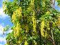 """Цветущий бобовник """"Золотой дождь"""", фото № 325467, снято 12 июня 2008 г. (c) Заноза-Ру / Фотобанк Лори"""