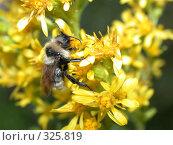 Купить «Пчела собирает мед», фото № 325819, снято 19 августа 2006 г. (c) sav / Фотобанк Лори