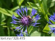 Купить «Василек с пчелой», фото № 326415, снято 14 июня 2008 г. (c) Мария Малиновская / Фотобанк Лори