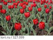 Купить «Красные тюльпаны», фото № 327099, снято 10 мая 2008 г. (c) Сергей Васильев / Фотобанк Лори
