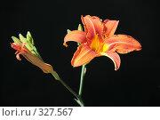 Купить «Красоднев, лилейник (Hemerocallis L.)», фото № 327567, снято 14 июня 2008 г. (c) Федор Королевский / Фотобанк Лори