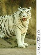 Купить «Бенгальская тигрица, московский зоопарк», эксклюзивное фото № 328295, снято 18 июня 2008 г. (c) Журавлев Андрей / Фотобанк Лори