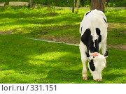 Купить «Бычок щиплет молодую траву», фото № 331151, снято 31 мая 2008 г. (c) Евгений Захаров / Фотобанк Лори