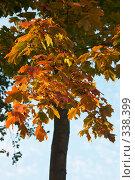 Купить «Осенний клён», фото № 338399, снято 29 сентября 2007 г. (c) Чепелев Егор / Фотобанк Лори