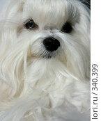 Портрет мальтийской болонки ( Maltese lap dog ) Стоковое фото, фотограф ElenArt / Фотобанк Лори
