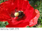Купить «Мак и шмель», фото № 341771, снято 29 июля 2006 г. (c) Дедюхина Инна / Фотобанк Лори