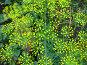 Укроп, фото № 343695, снято 3 июля 2008 г. (c) Светлана Кириллова / Фотобанк Лори