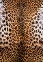 Шкура леопарда, фото № 344231, снято 3 мая 2008 г. (c) Морозова Татьяна / Фотобанк Лори