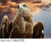 Купить «Чёрный коршун (milvus migrans ). Хищная птица», фото № 344935, снято 29 июня 2008 г. (c) Карелин Д.А. / Фотобанк Лори