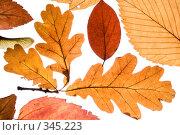 Осенние листья на белом фоне. Стоковое фото, фотограф Мельников Дмитрий / Фотобанк Лори