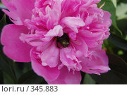 Купить «Жук в цветке», фото № 345883, снято 28 июня 2008 г. (c) Алексей Желтов / Фотобанк Лори