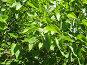 Свежая листва (сирень), фото № 346511, снято 23 июня 2008 г. (c) Olya&Tyoma / Фотобанк Лори